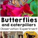 Butterfly Life Cycle Observation Experiment