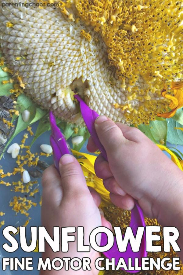 Investigating Sunflowers in Preschool Fine Motor Sensory Bin